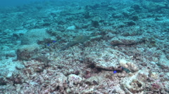 Common reef octopus swimming on rubble, Octopus cyanea, HD, UP17544 Stock Footage
