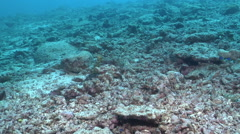 Common reef octopus swimming, Octopus cyanea, HD, UP17552 Stock Footage