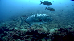 Giant trevally swimming in fish feeding arena, Caranx ignobilis, HD, UP17559 Stock Footage