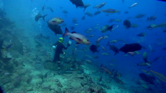 Beqa shark feed expert swimming in fish feeding arena with Giant trevally Red Stock Footage