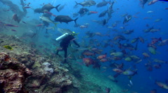 Tiger shark feeding in fish feeding arena, Galeocerdo cuvier, HD, UP17578 Stock Footage