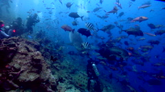 Tiger shark feeding in fish feeding arena, Galeocerdo cuvier, HD, UP17590 Stock Footage