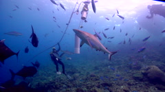 Beqa shark feed expert swimming in fish feeding arena with Giant trevally Grey Stock Footage