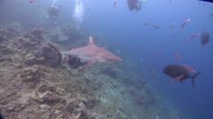 Grey reef shark feeding in fish feeding arena, Carcharhinus amblyrhynchos, HD, Stock Footage
