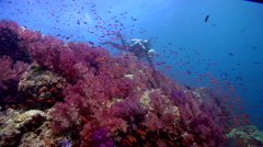 Male model scuba diver swimming on shallow coral reef with Variable soft coral Stock Footage