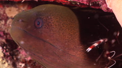 Giant moray cleaning and being cleaned at dusk, Gymnothorax javanicus, HD, Stock Footage
