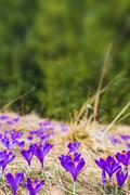 Blooming Crocus Vertical Copy Space Background. Flowering Crocuses in Spring - stock photo