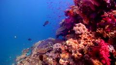 Scalefin anthias feeding on shallow coral reef, Pseudanthias squamipinnis, HD, Stock Footage