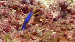 Blue ribbon eel gaping, Rhinomuraena quaesita, HD, UP17652 Stock Footage