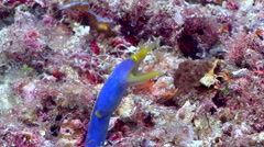 Blue ribbon eel gaping, Rhinomuraena quaesita, HD, UP17653 Stock Footage