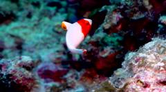 Juvenile Bicolor parrotfish swimming, Cetoscarus bicolor, HD, UP17660 Stock Footage