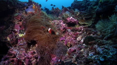 Red-and-Black anemonefish swimming on deep coral reef, Amphiprion melanopus, HD, Stock Footage