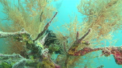 Orange blue yellow ascidians swaying, Pycnoclavela detorta, HD, UP27761 Stock Footage
