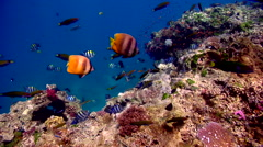 Indo-Pacific sergeant guarding on shallow coral reef, Abudefduf vaigiensis, HD, - stock footage