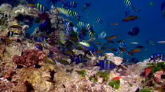 Klein's butterflyfish guarding on shallow coral reef, Chaetodon kleinii, HD, Stock Footage