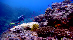 Leaf scorpionfish ambush predator waiting on shallow coral reef, Taenianotus Stock Footage