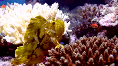 Leaf scorpionfish, Taenianotus triacanthus, HD, UP17685 Stock Footage