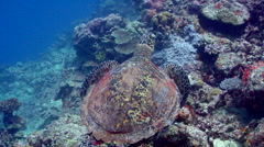 Hawksbill turtle swimming, Eretmochelys imbricata, HD, UP17696 Stock Footage