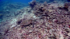 Hawksbill turtle hunting on shallow rubble, Eretmochelys imbricata, HD, UP17698 Stock Footage
