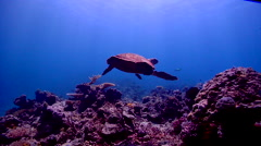 Hawksbill turtle swimming on shallow coral reef, Eretmochelys imbricata, HD, Stock Footage