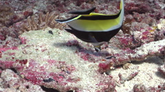 Moorish idol feeding on deep coral rubble, Zanclus cornutus, HD, UP27832 Stock Footage