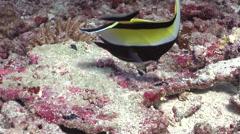 Moorish idol feeding on deep coral rubble, Zanclus cornutus, HD, UP27832 Stock Footage