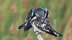 Three pied kingfishers interact on a perch Stock Footage