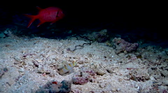 Randalls shrimpgoby in cavern, Amblyeleotris randalli, HD, UP17712 Stock Footage
