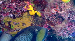 Titan triggerfish feeding, Balistoides viridescens, HD, UP17714 Stock Footage