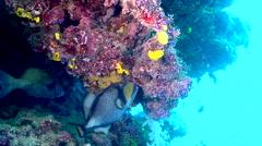 Titan triggerfish feeding, Balistoides viridescens, HD, UP17716 Stock Footage