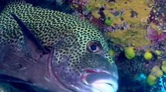 Titan triggerfish swimming, Balistoides viridescens, HD, UP17718 Stock Footage