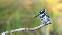 Pied Kingfisher perched on a dry branch with blurred background Stock Footage