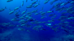 Bigeye trevally swimming and schooling in deep channel, Caranx sexfasciatus, HD, Stock Footage
