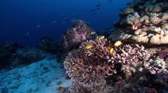 Threadfin anthias swimming on deep coral reef at dusk, Pseudanthias huchti, HD, Stock Footage