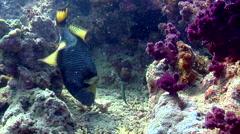Titan triggerfish feeding, Balistoides viridescens, HD, UP17769 Stock Footage