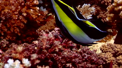 Moorish idol feeding, Zanclus cornutus, HD, UP17785 Stock Footage