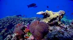Ocean scenery beautiful, hard coral, fire coral, on shallow coral reef, HD, Stock Footage