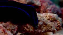 Black and blue swallowtail slug walking, Chelidonura varians, HD, UP17809 Stock Footage