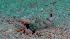 Steinitzs shrimpgoby, Amblyeleotris steinitzi, HD, UP17811 Stock Footage
