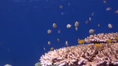 Yellow damsel feeding on shallow coral reef, Pomacentrus moluccensis, HD, Stock Footage