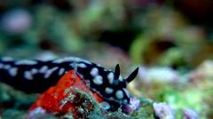 Lumpy black and grey slug walking, Phyllidia nobilis, HD, UP17818 Stock Footage