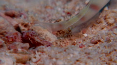 Steinitzs shrimpgoby retreating, Amblyeleotris steinitzi, HD, UP17816 Stock Footage