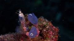 Fine lined slug feeding, Nembrotha lineolata, HD, UP17836 Stock Footage