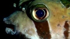 Black-blotched porcupinefish at dusk, Diodon liturosus, HD, UP17846 Stock Footage