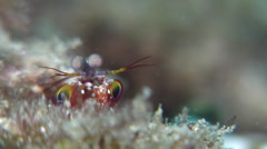 Juvenile Flagtail triggerfish looking around on silty inshore reef, Sufflamen Stock Footage