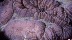 Unidentified brain coral spawning on shallow coral reef at night, Lobophyllia Stock Footage