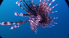 Common lionfish swimming on rubble, Pterois volitans, HD, UP17902 Stock Footage