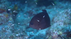 Adults and juveniles Spiny chromis swimming, Acanthochromis polyacanthus, HD, Stock Footage
