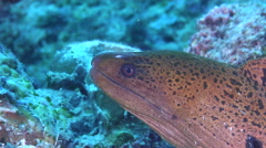 Giant moray breathing, Gymnothorax javanicus, HD, UP17912 Stock Footage