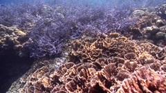 Staghorn coral on shallow coral reef, Acropora sp., HD, UP27519 Stock Footage